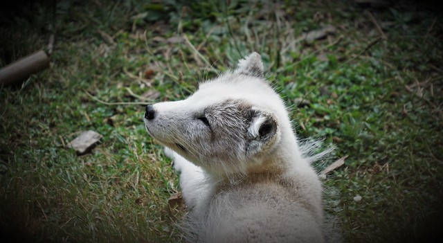 Arctic puppy