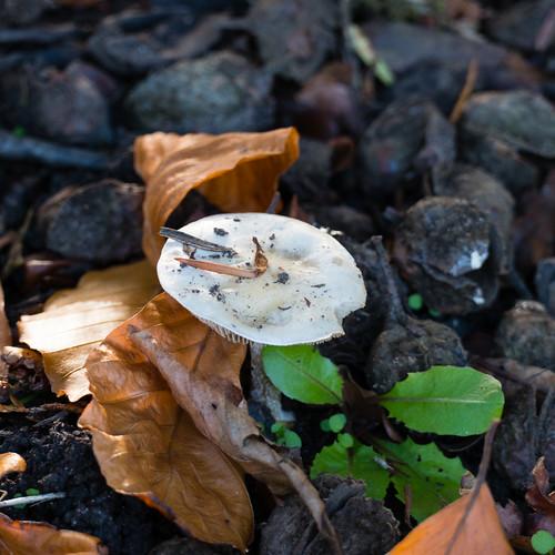 Verdigris mushroom (perhaps)