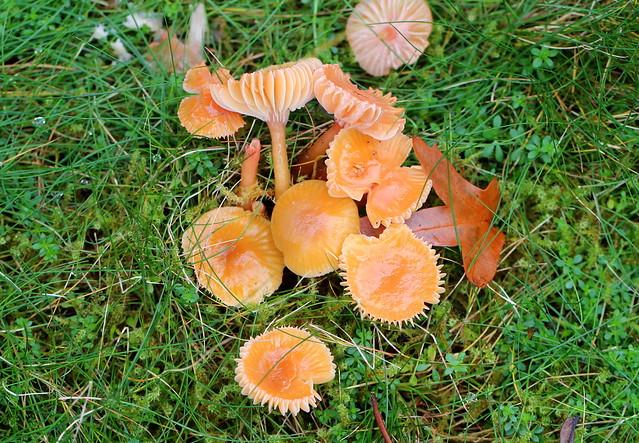 Velvet Shank mushroom?