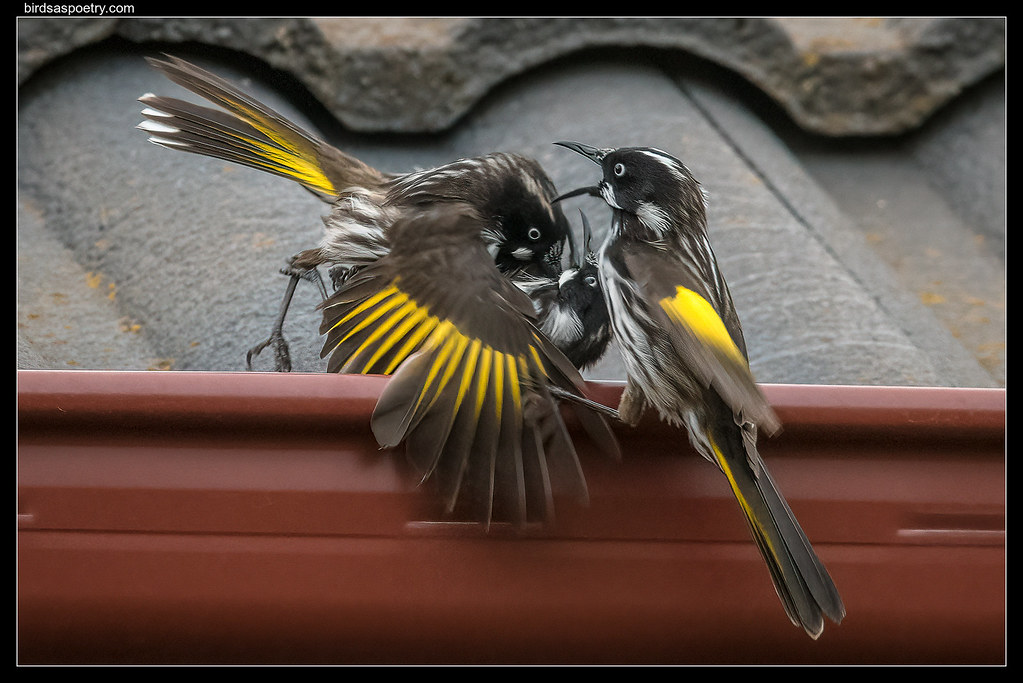 New Holland Honeyeater: Claw to Claw Contest