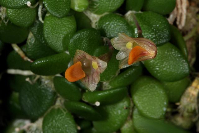 Dendrobium lichenastrum 2019-11-01 01