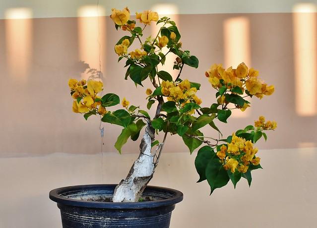 Bougainvillea pre bonsai b0002