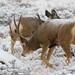 IMG_3964 mule deer