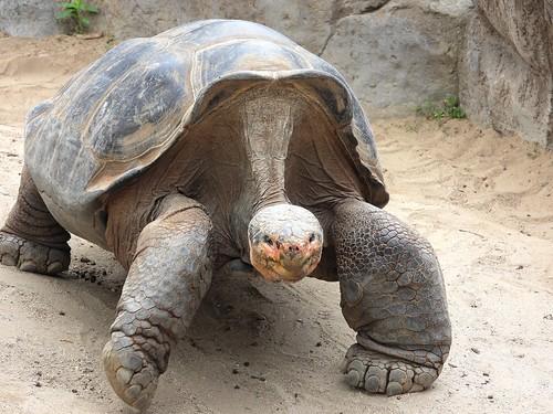 0921ex2 Galapagos tortoise