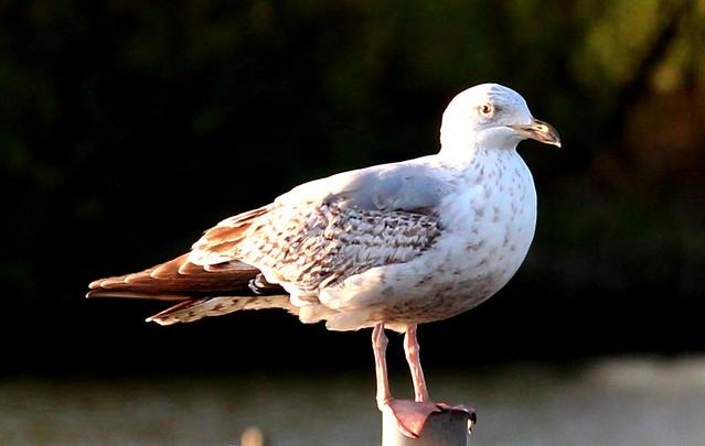 Common Gull(Larus canus)