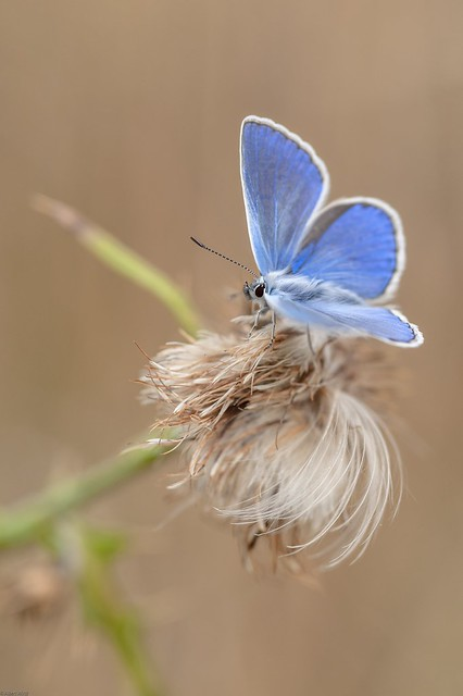 *Common Blue with autumnal bokeh*