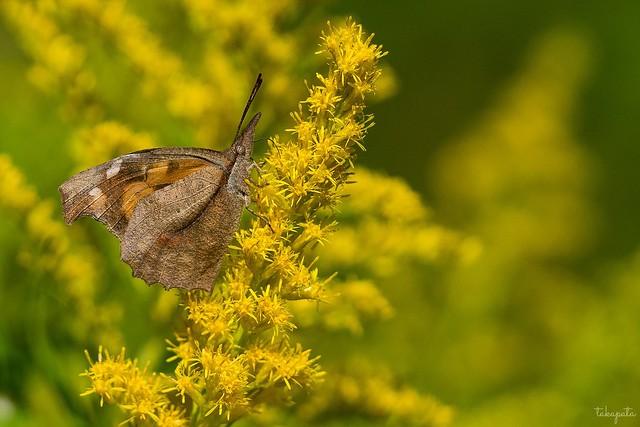 Nettle-tree Butterfly (Libythea celtis)
