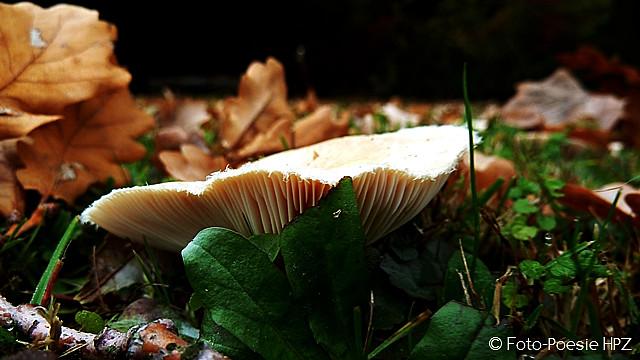 Mushroom in leaves ...