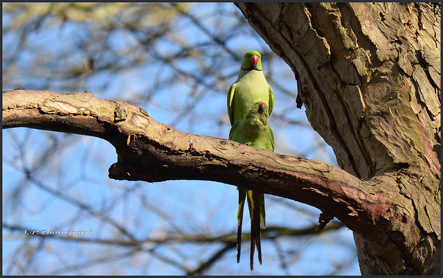 Loved up Parakeets...6