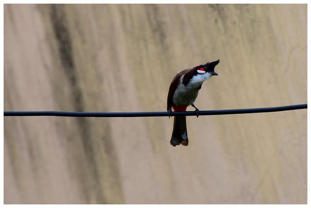 Indian bird(Bulbul)