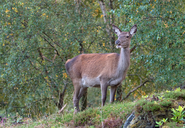 Red Deer 'Cervus elaphus' Scottish Highlands