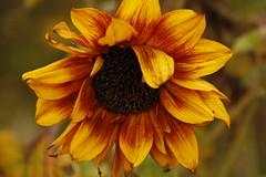Autumn Beauty Sunflower still in Bloom on my Allotment