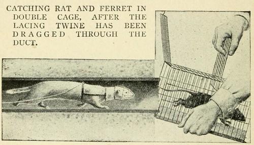 Ratting_ferret_2