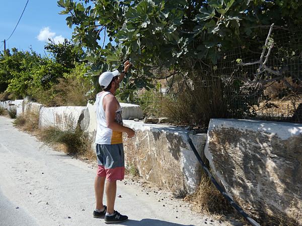 cueillette de figues