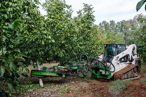 La máquina mueve el tronco del nogal para que caigan los frutos