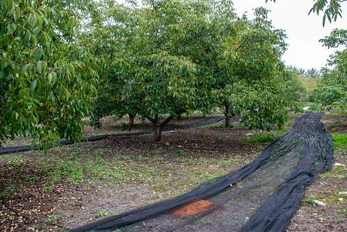 Extendiendo las redes en el suelo para la recogida del fruto