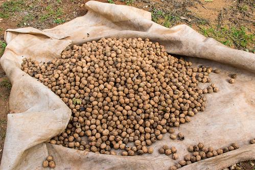 Nueces recién cogidas, antes de pasar al secadero natural