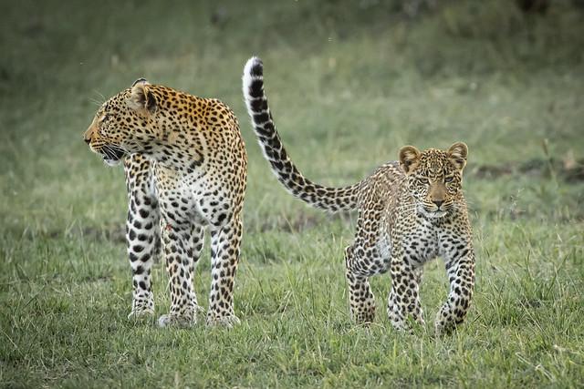 Leopard h Mara Bush Camp 5th Aug 19 1DXII