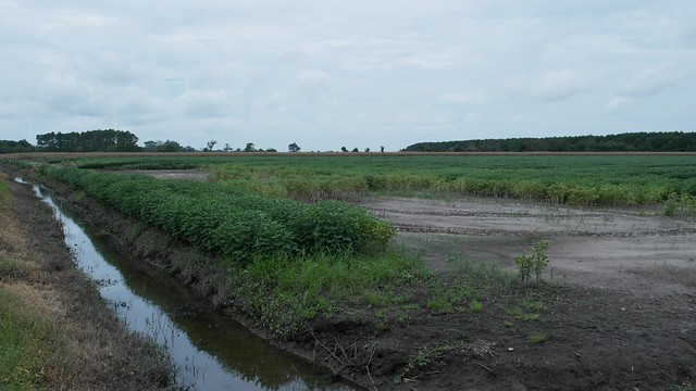 Saltwater intrusion impacted agriculture field
