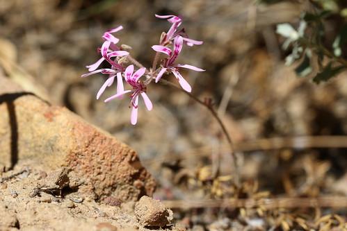 Pelargonium reflexipetalum in wild