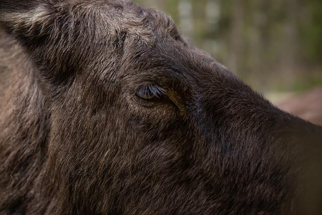 Moose eye