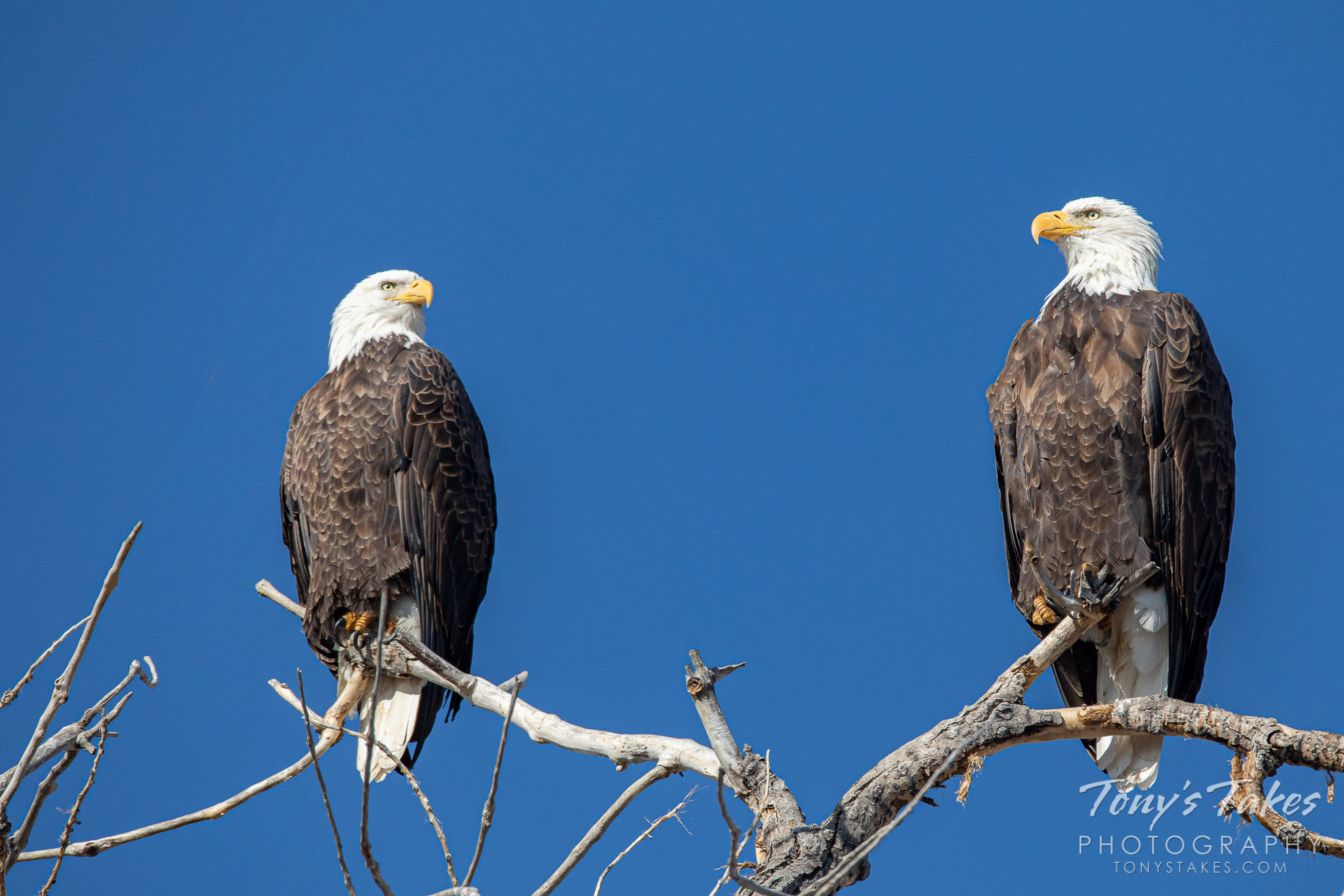A regal bald eagle pair for #FreedomFriday