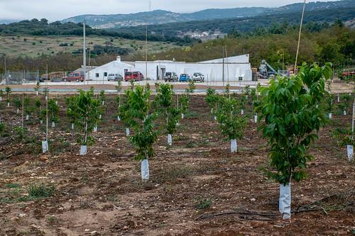 Plantaciones nuevas. Al fondo, instalaciones donde se almacenan las nueces