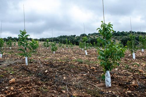 Otra vista de nuevas plantaciones de nogales