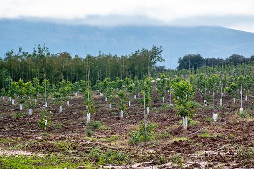 Plantaciones nuevas, al fondo, la serranía de Ronda