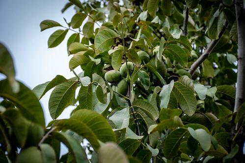 Nueces y hojas del nogal