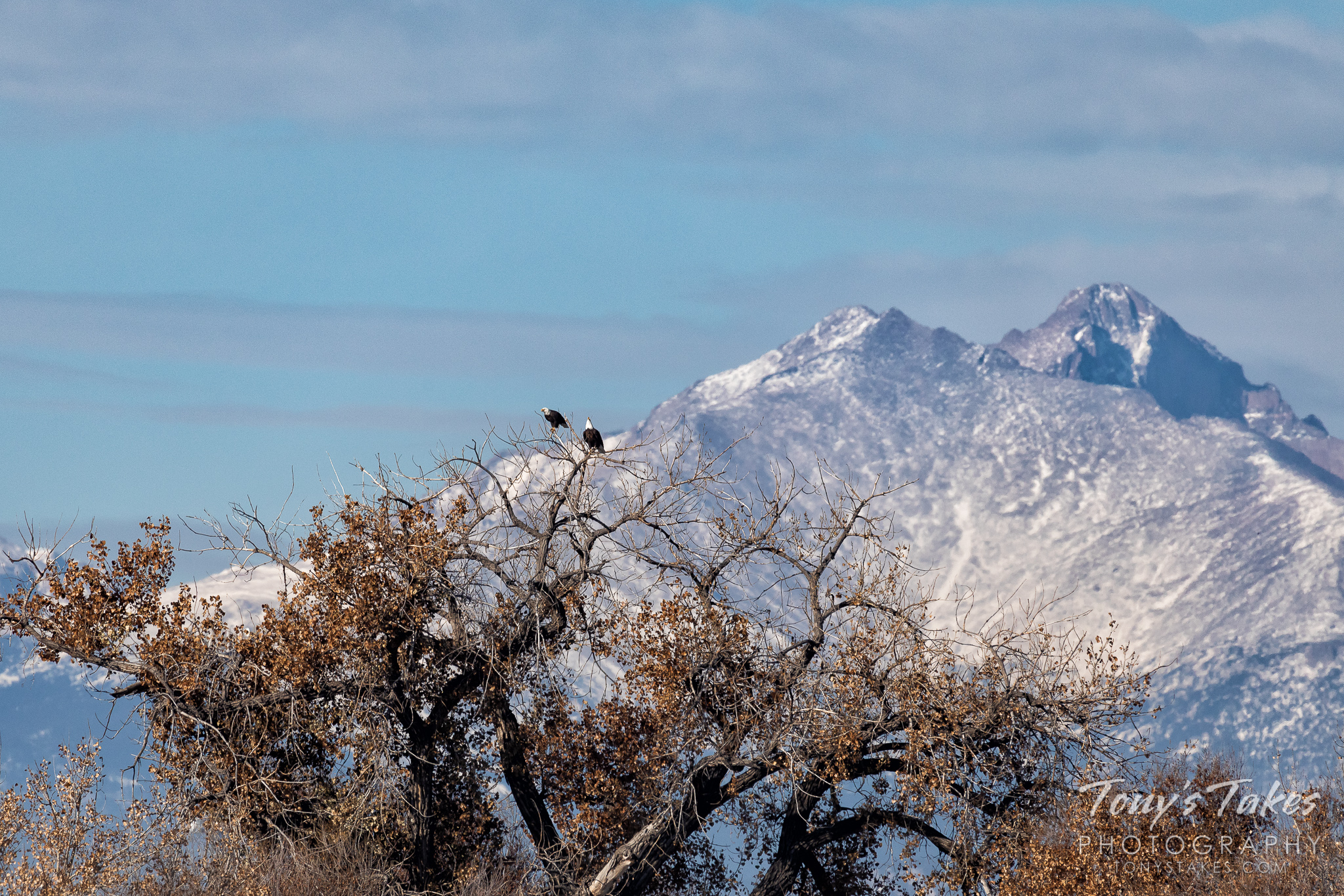 A pair of bald eagles hang out in a tree with Mount Meeker and Longs Peak in the background. (© Tony's Takes)