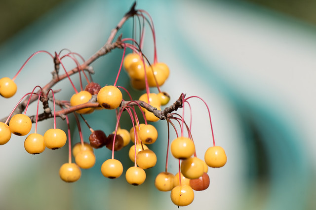myflowers: frutti di melo ornamentale