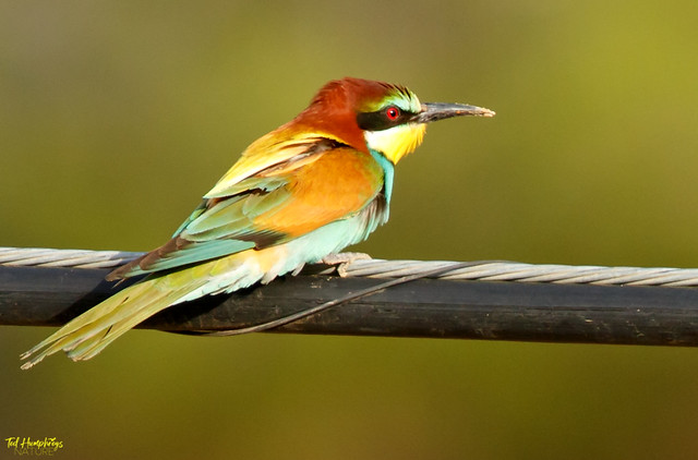 Bee Eater in ravine near Creveillente