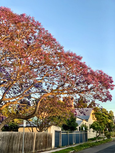 Jacarandas: a reminder of the three weeks a year that this is a pleasant city to live in (mostly) | by Ben Harris-Roxas
