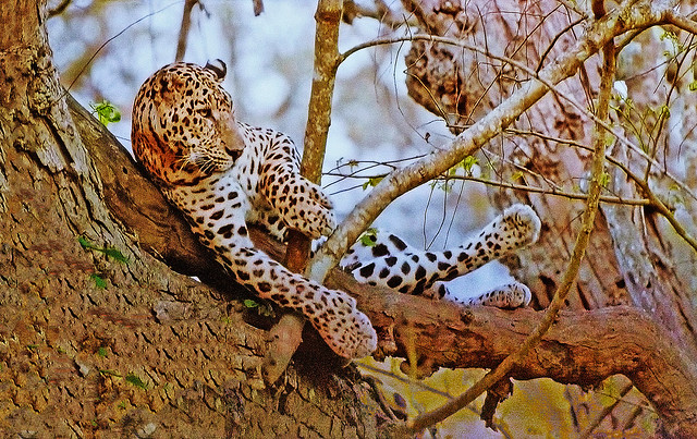 AFRICA - Leopard relax in a tree, but ...?