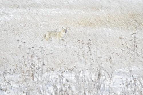 alberta calgary canada fishcreekprovincialpark coyote ghost prairie winter