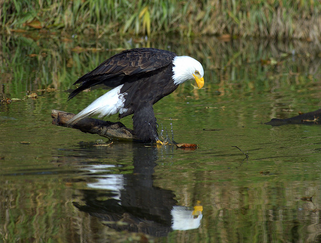 Bald Eagle going for a drink
