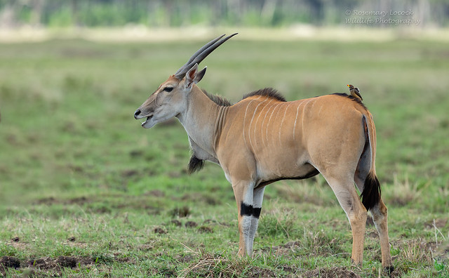 Common Eland - Taurotragus oryx