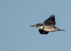 Belted Kingfisher-7.jpg  (由  JimUSNY