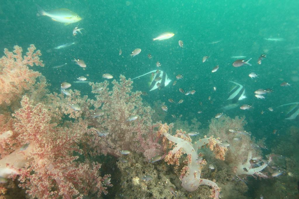 苗栗竹南測風塔的軟珊瑚比例已接近其他魚礁