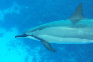 reef dolphin