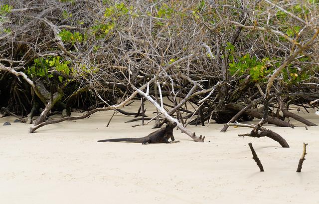 Marine iguana on a beach of the Galapagos Islands