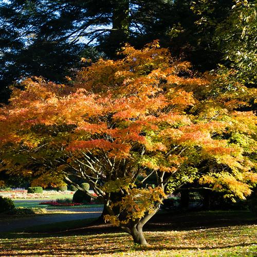 Autumn colours: Japanese acer, West Park