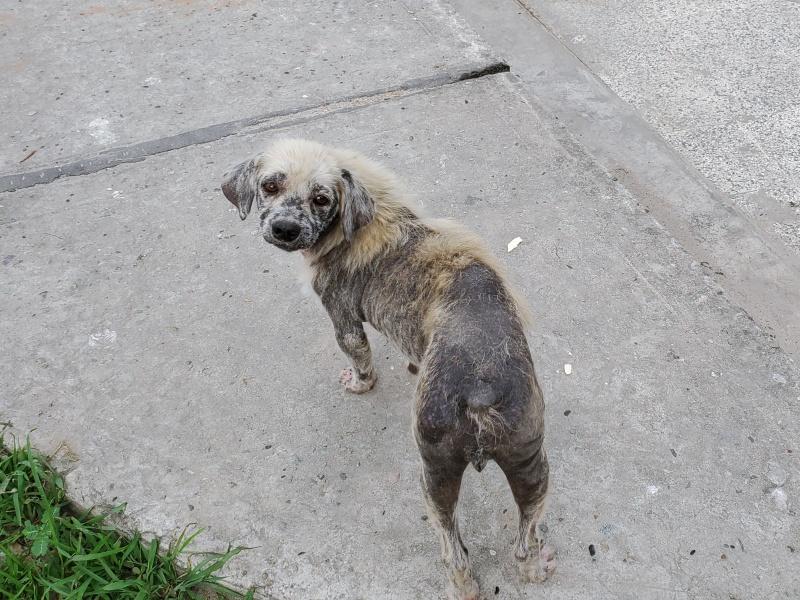 Iquitos dog