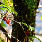 サネカズラ Kadsura japonica(L.)Dunal