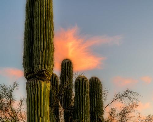arizona cacti cactus clouds desert estrellla goodyeararizona kenmickelphotography landscape outdoors plants saguaro sky nature photography goodyear unitedstatesofamerica