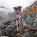 Bhutan19_1363 Pleurospermum Amabile