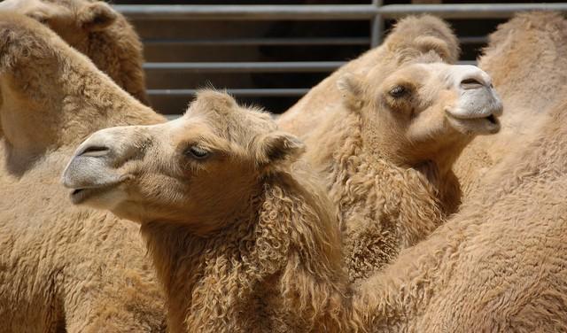 Camels of  São Paulo