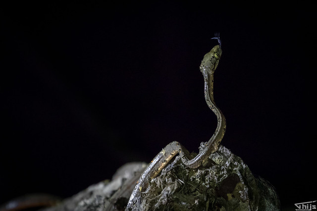 snake photographed at night from a canoe (with Flashlight)