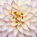 Dahlia with White & Purple Petals, 10.11.19
